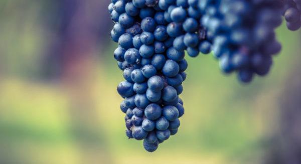 I-Vini-dellEmilia-Romagna-Uva-Rossa